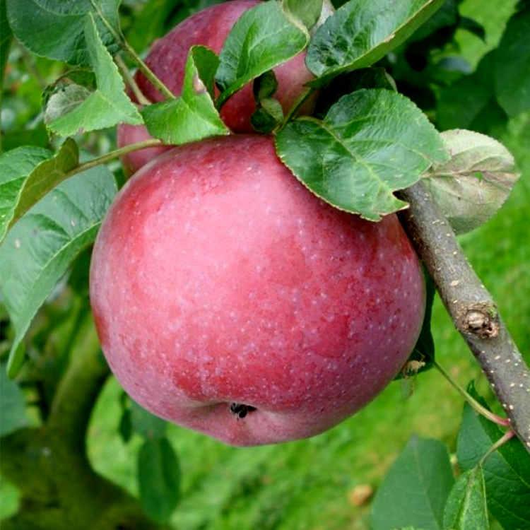 Описание сорта яблони Лобо — особенности, правила посадки и ухода, сбор урожая фото