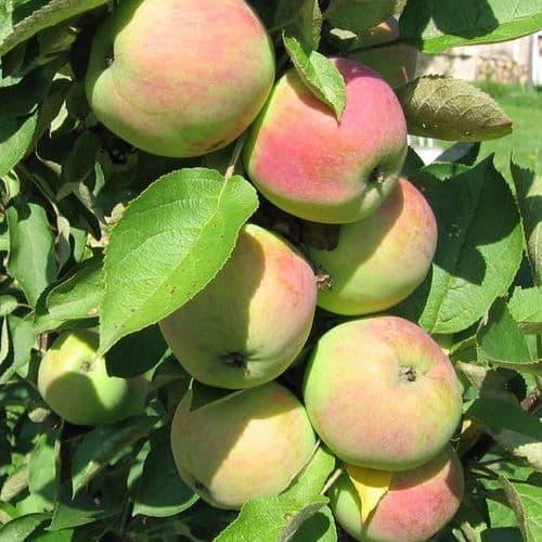 Описание колоновидного сорта яблок Президент