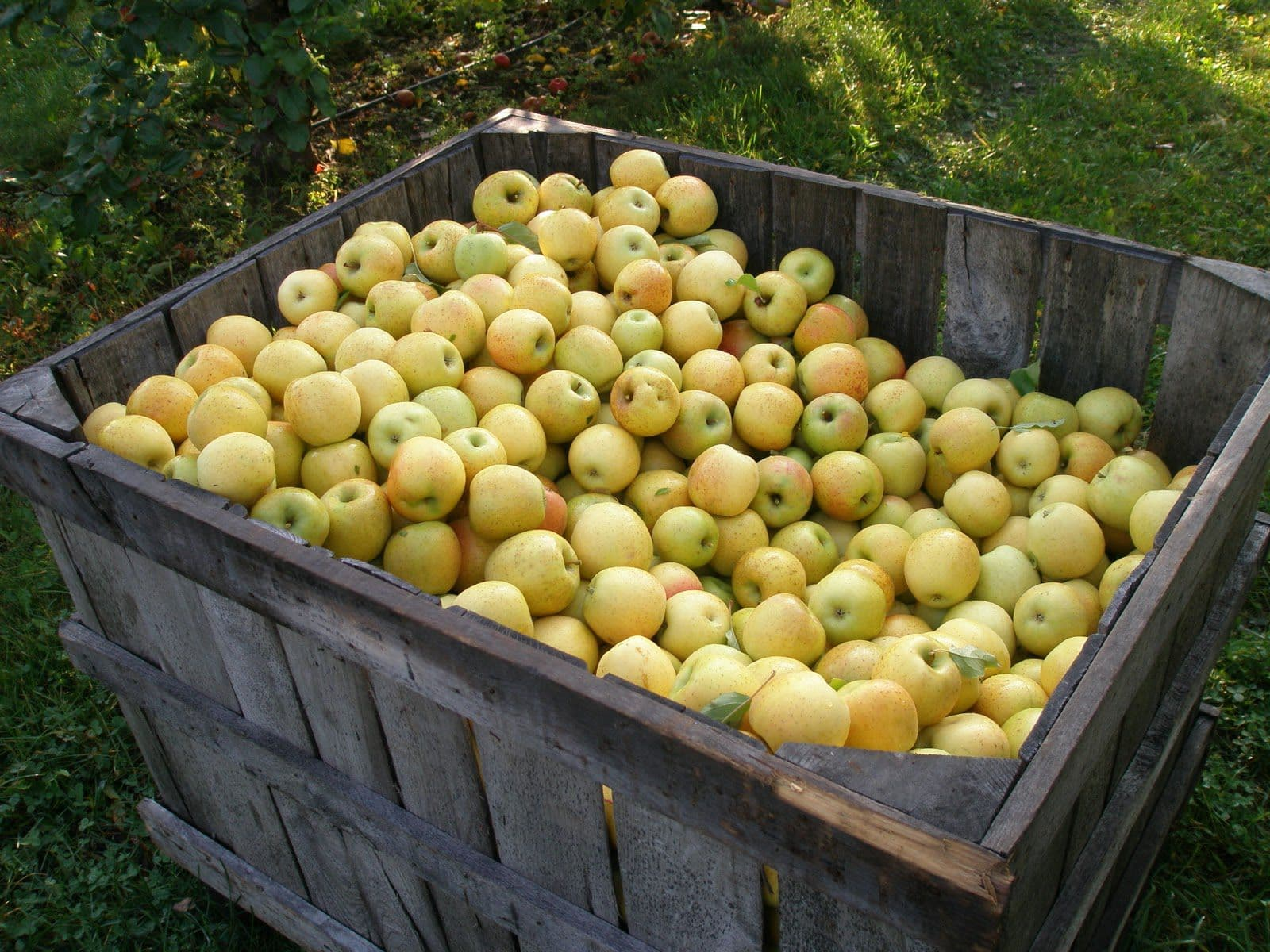 Температура хранения яблок на балконе