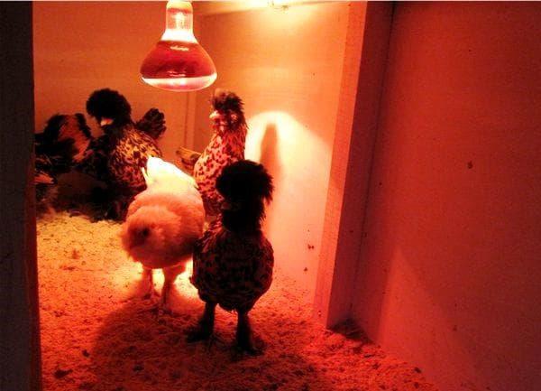 Инфракрасная лампа для курей