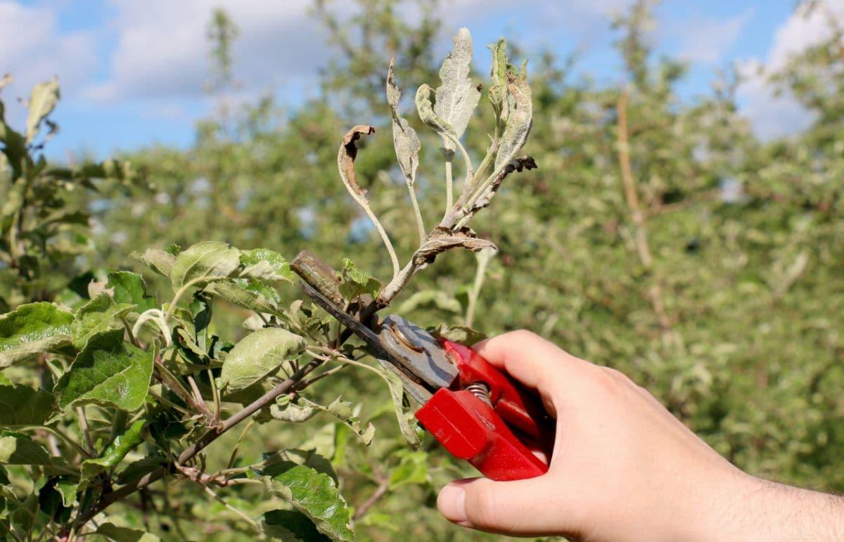 Особенности обрезки молодой яблони
