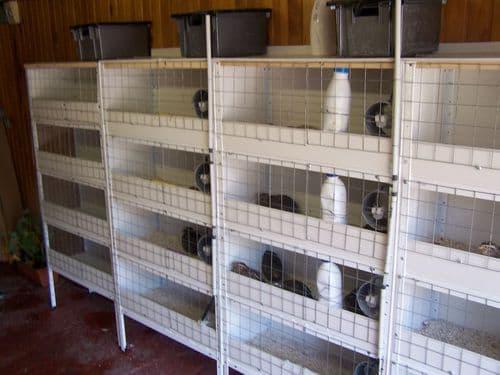 Содержание перепелов зимой в сарае: утепление птичника