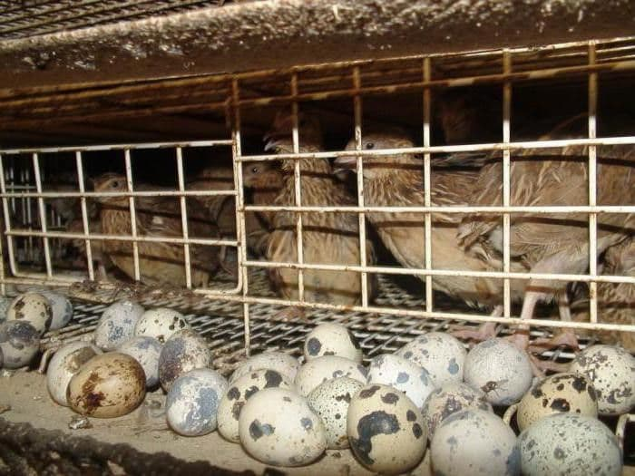 Когда начинают нестись перепела, сколько яиц несет перепелка в день в домашних условиях