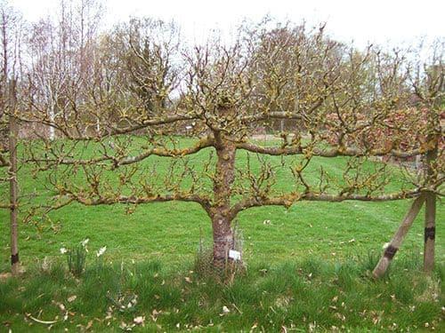 Обрезка очень старой яблони