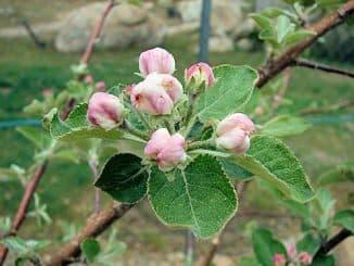 период вегетации у яблони