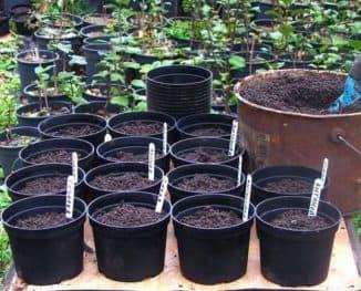 выращивание яблони из семян в домашних условиях