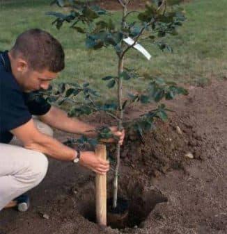 как посадить правильно яблоню весной