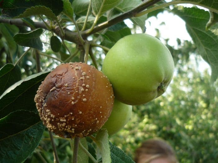 Причины появления и лечение монилиоза яблони