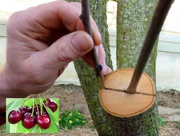 На какое дерево прививают черешню