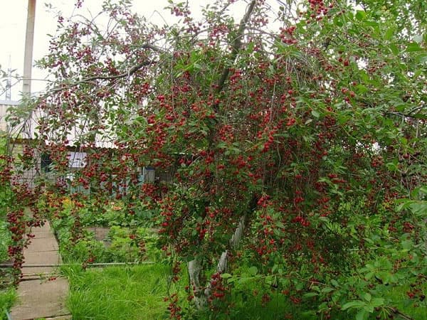 Соседство вишни с другими растениями