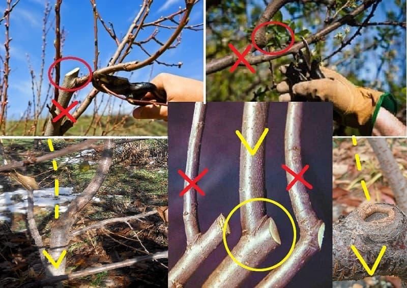 Как обрезать молодые саженцы вишни