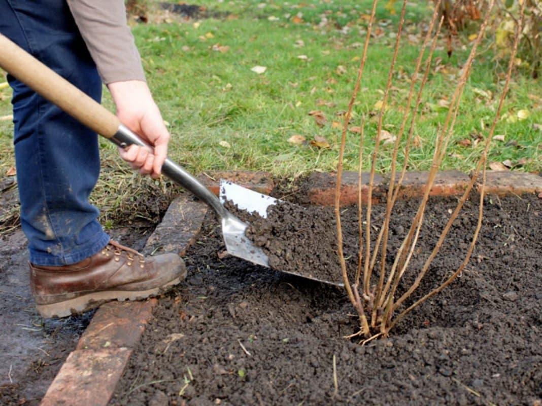 Посадка черной смородины весной саженцами в открытый грунт: сроки, схемы, правила посадки