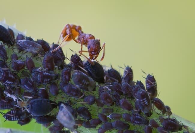 Как избавиться на смородине от муравьев и тли