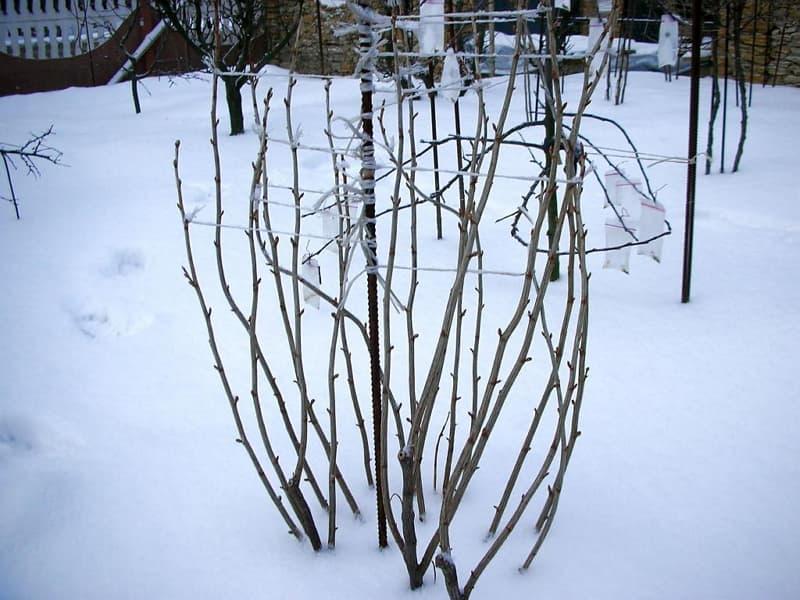 Уход за смородиной осенью. Подготовка к зиме черной и красной смородины
