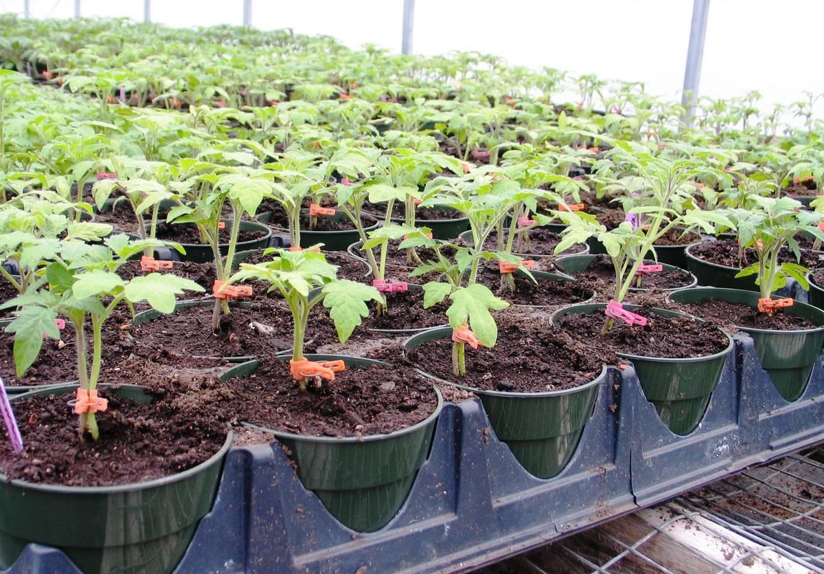 При какой температуре следует высаживать помидоры в грунт