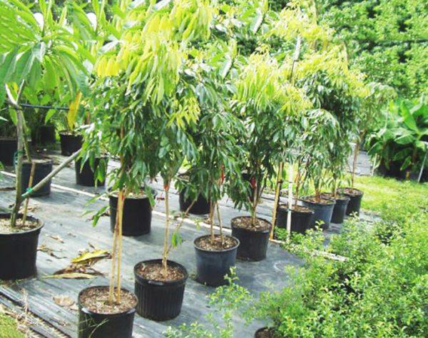 Личи: как вырастить дома из косточки в открытом грунте, можно ли вырастить личи дома, как посадить дома личи