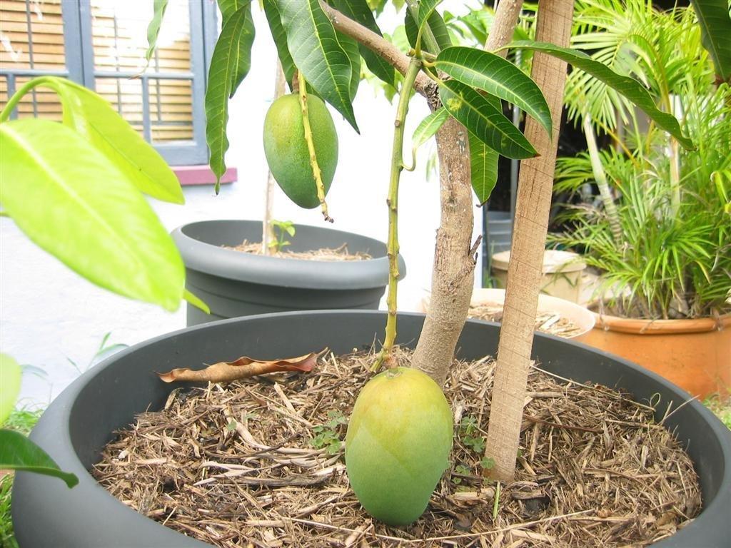Как вырастить манго из косточки в домашних условиях правила посадки и ухода