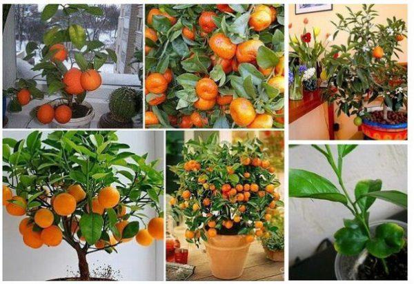Как пересадить мандариновое дерево в домашних условиях