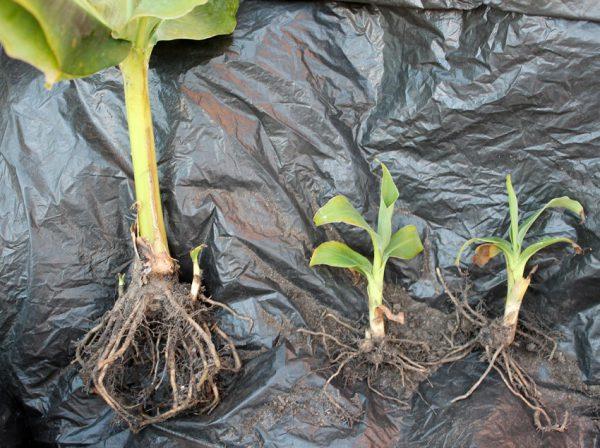 Семена банана: как выглядят и как вырастить из них банановое дерево в домашних условиях