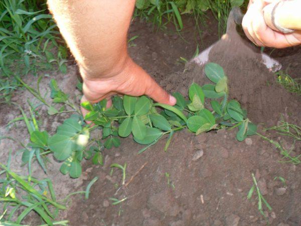 Как можно вырастить арахис на даче в средней полосе правила посадки и ухода за культурой